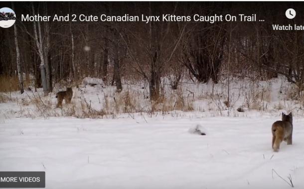 Mother & Cute Lynx Kittens